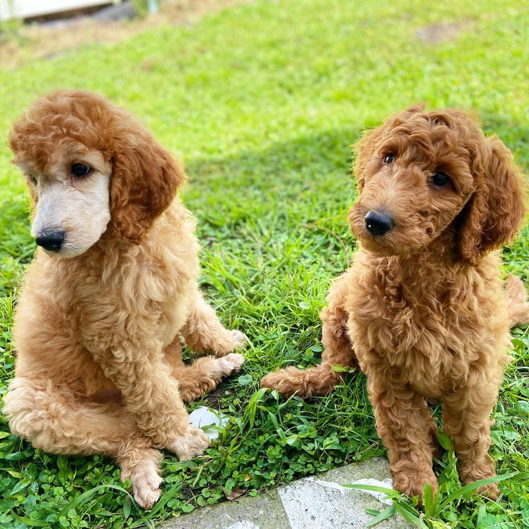 "Meet Louie & Lily🐾 on Instagram: ""Happy Sunday Furiends! Lily and I been enjoying this lazy Sunday. #apricotpoodle #poodlepuppies #poodlepup #poodlepuppy_feature…"""