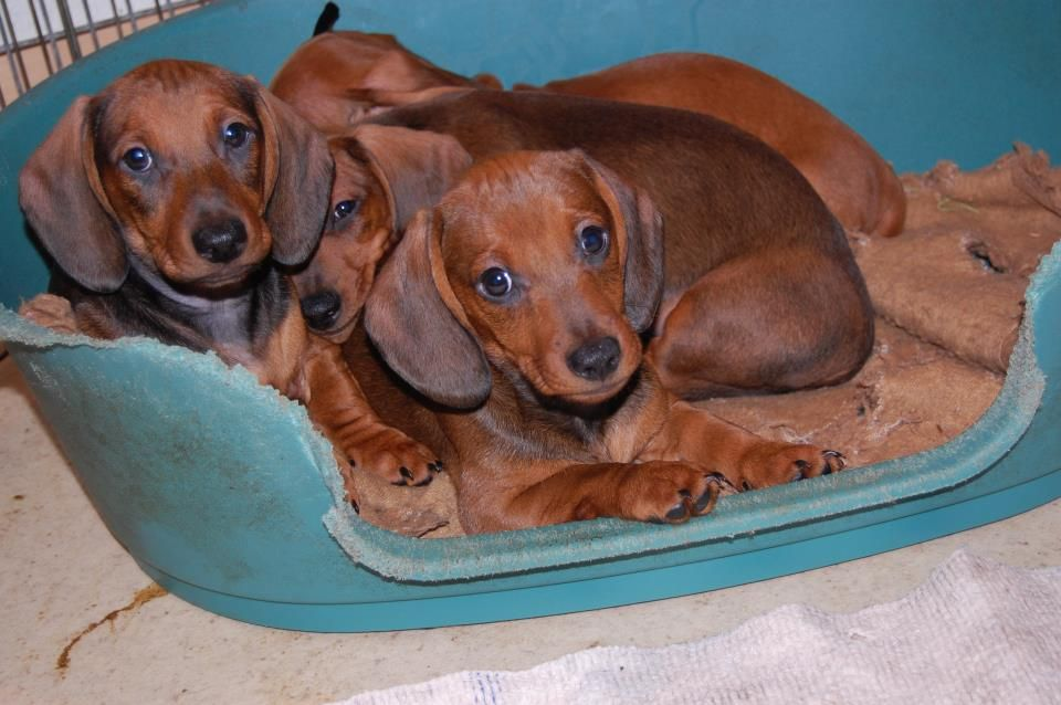 dachshunds  The future Miles