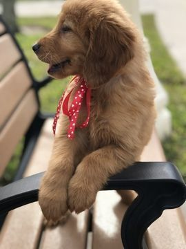 Golden Retriever Puppy For Sale In Lakeland Fl Adn 64027 On