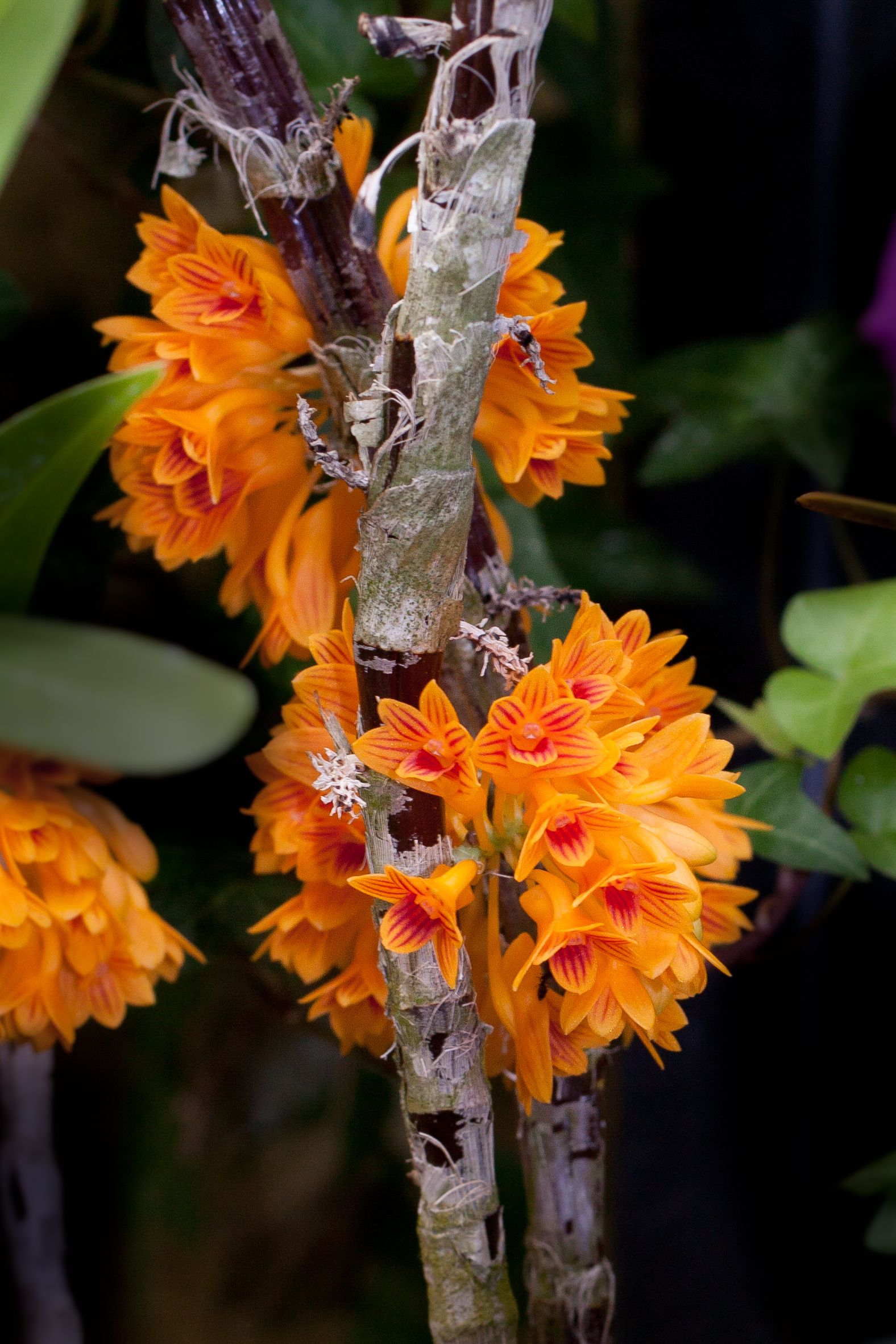 Dendrobium Bullenianum Bright Orange Clusters Of Flowers Standout From The Stems Of This Orchid Longwoodgard Unusual Flowers Orchid Plants Beautiful Orchids