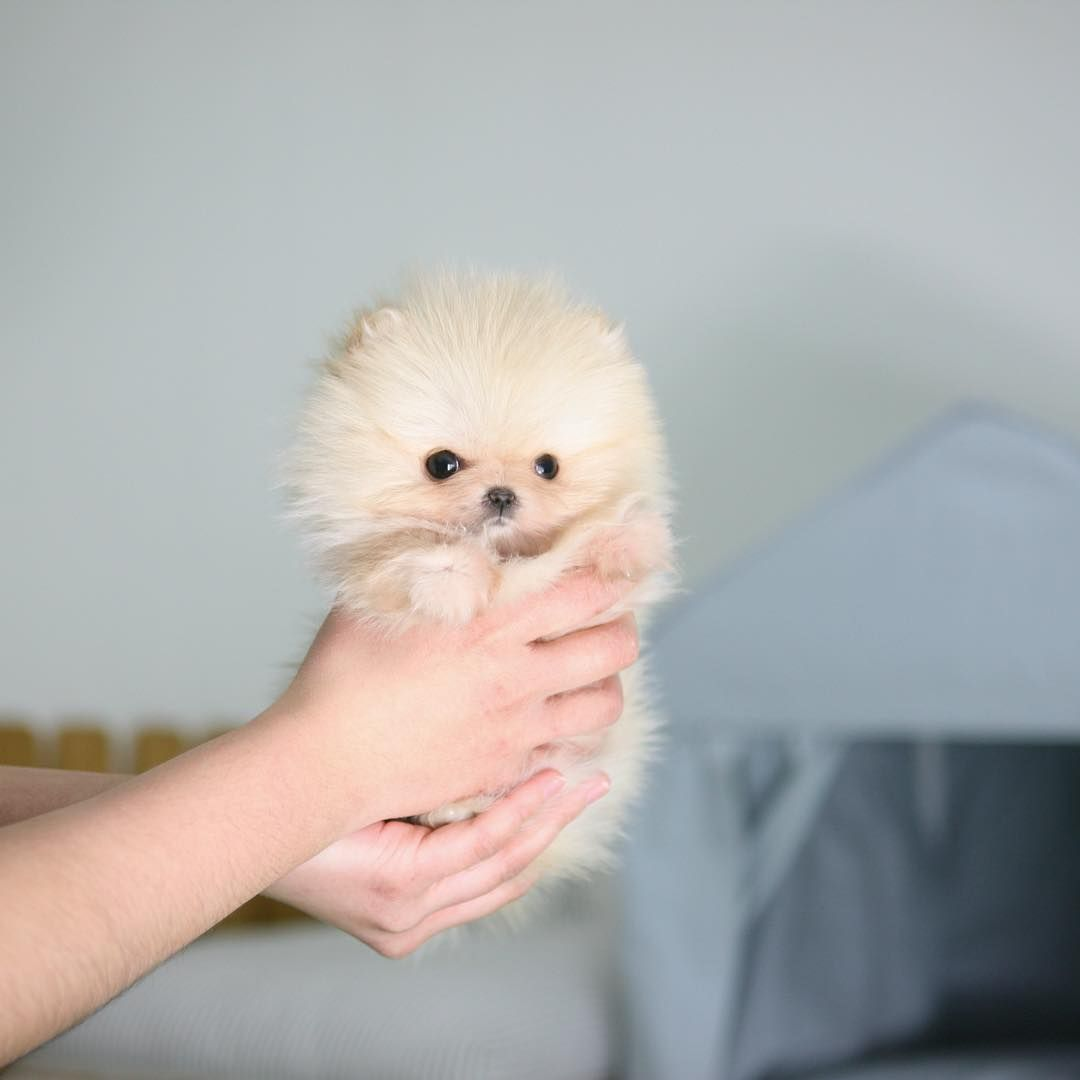 Full Grown Teacup Pomeranian Puppies For Sale $250 Ideas