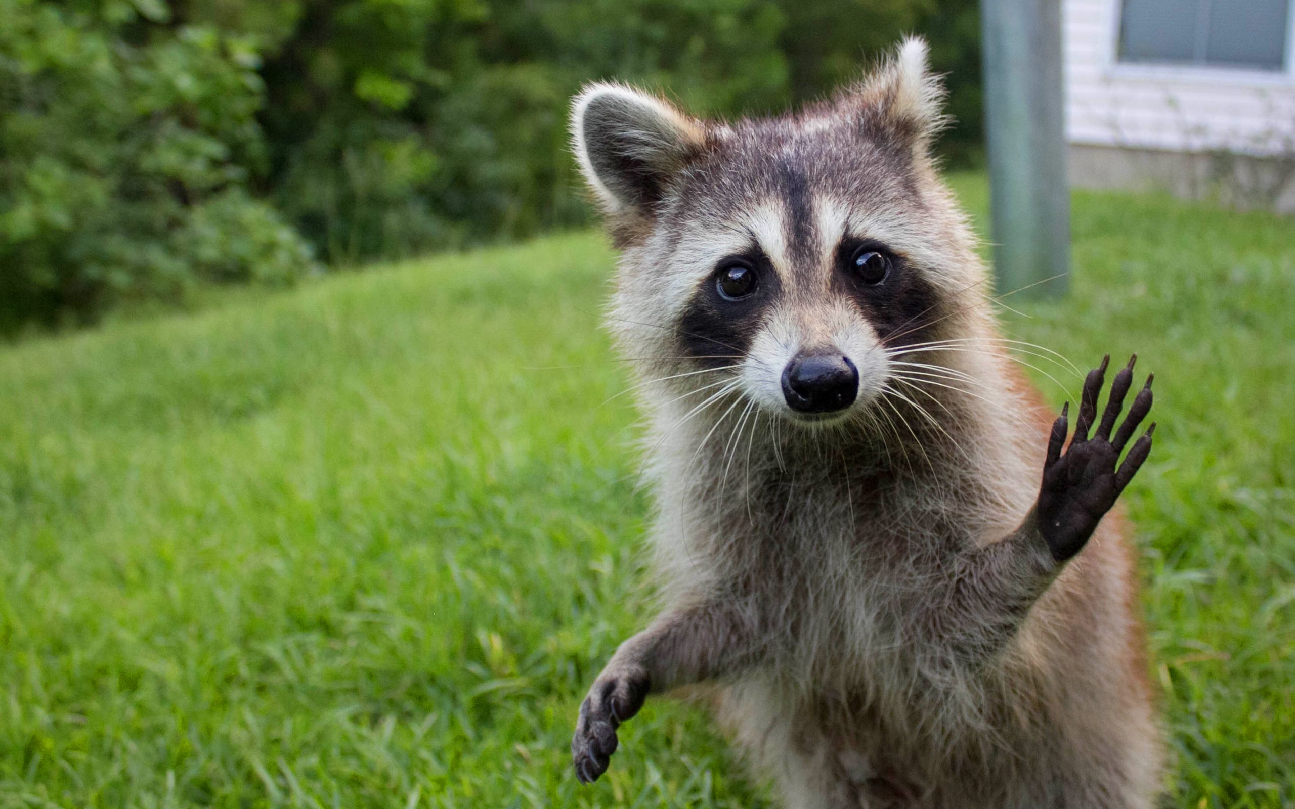 30 Raccoons That Prove How Gosh Darn Cute These Backyard Dwellers Are