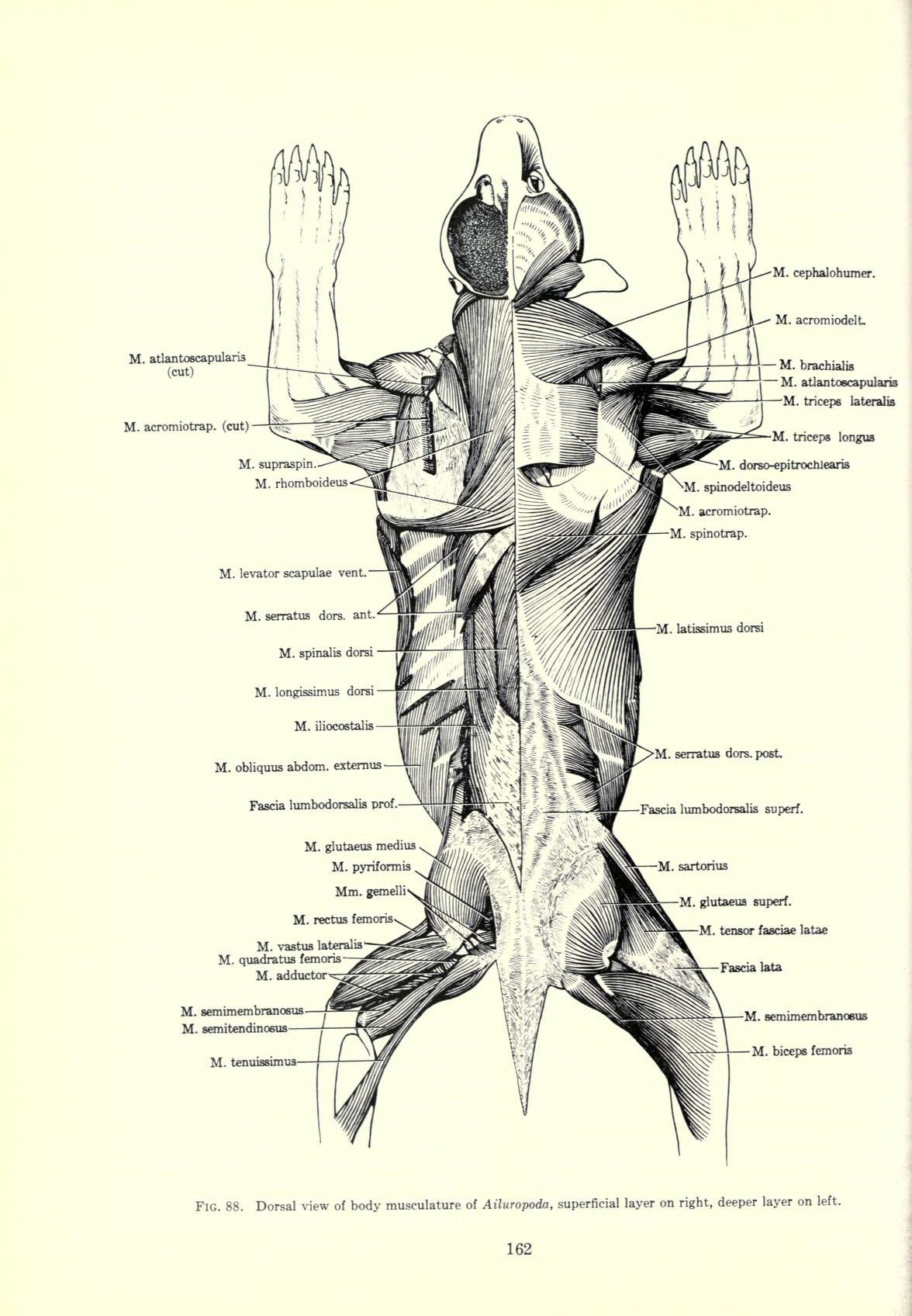 snow leopard anatomy diagram muscular system labeled giant panda illustrations pinterest
