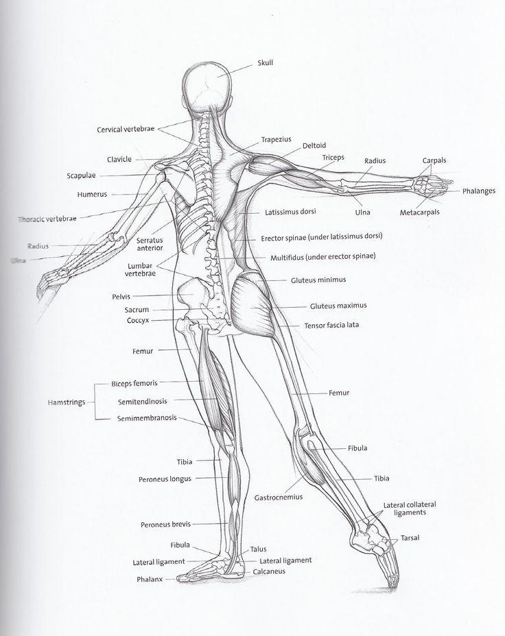 Dancer\'s Anatomy (back)   Ballet Teacher in 2018   Pinterest ...