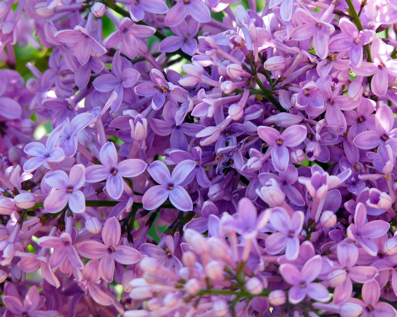 Скачать обои фиолетовый, зеленый, весна, лиловый, сирень ...