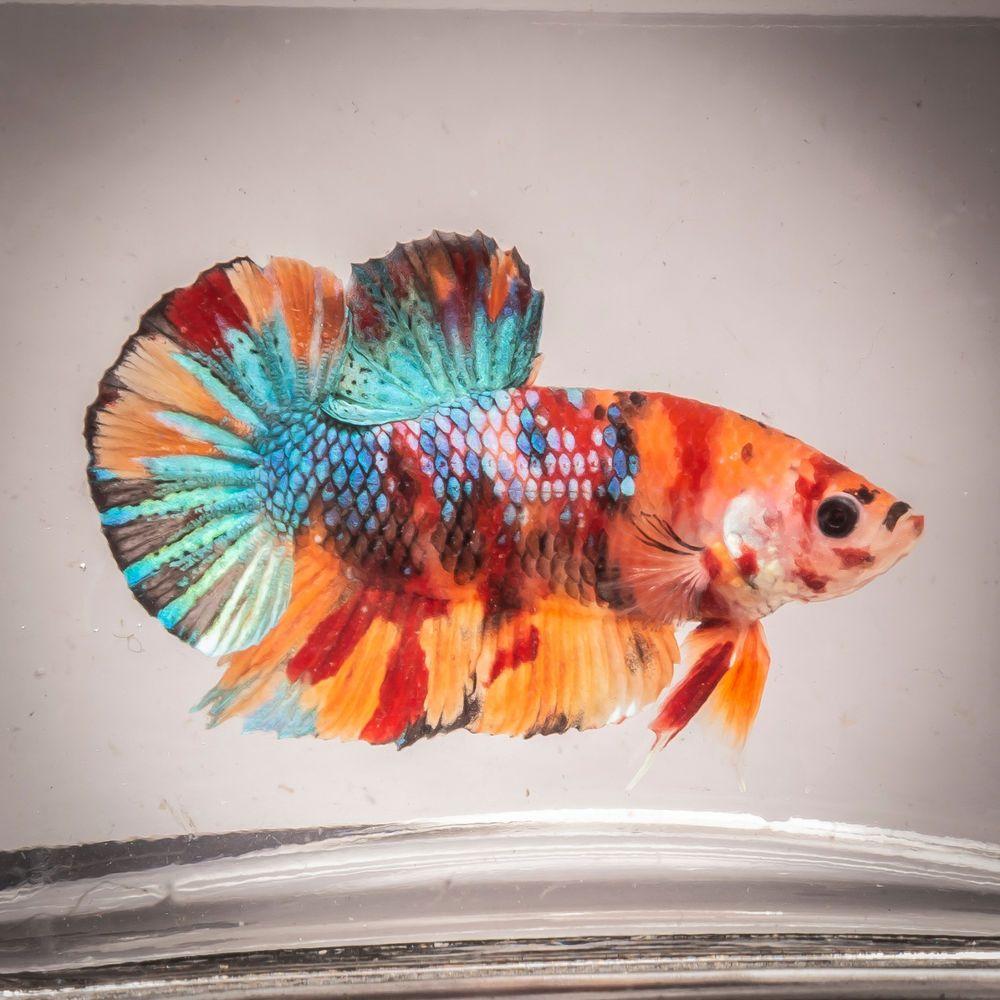 Hmpk Nemo Koi Breeding Pair Live Fish Usa Based Seller Bp0004 Fish Betta Fish Aquarium Fish
