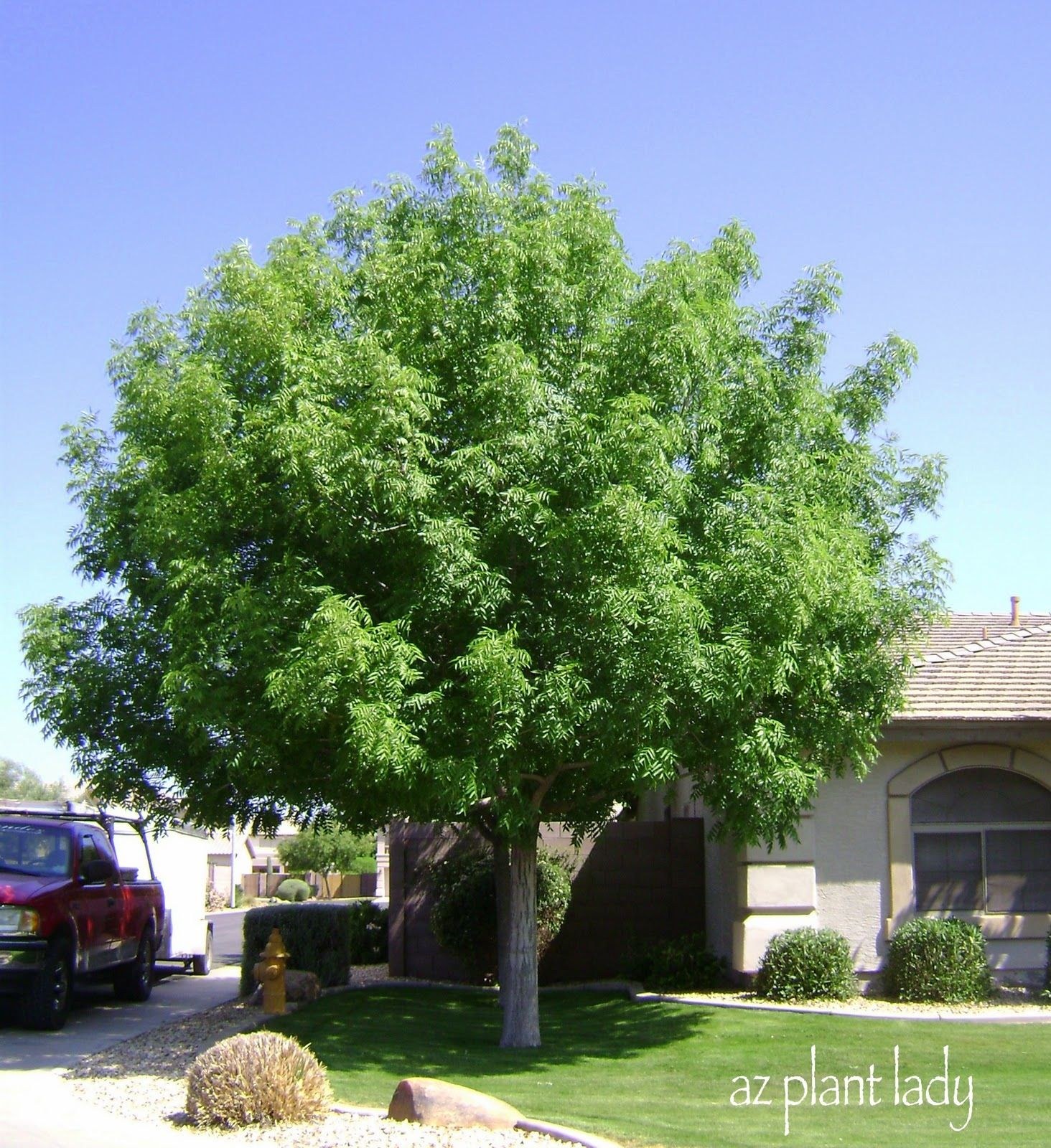 Must Have A Front Yard Shade Tree.