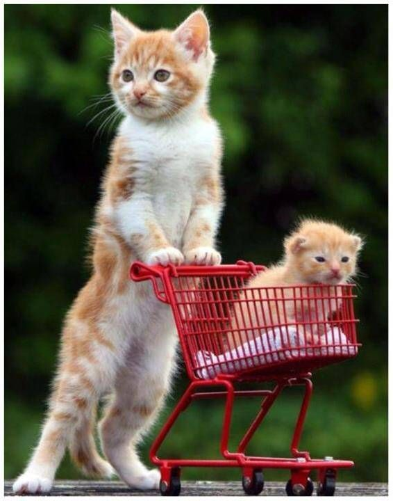 Cute cats shopping for cats cats picture catskittens cute cats shopping for cats cats picture voltagebd Gallery