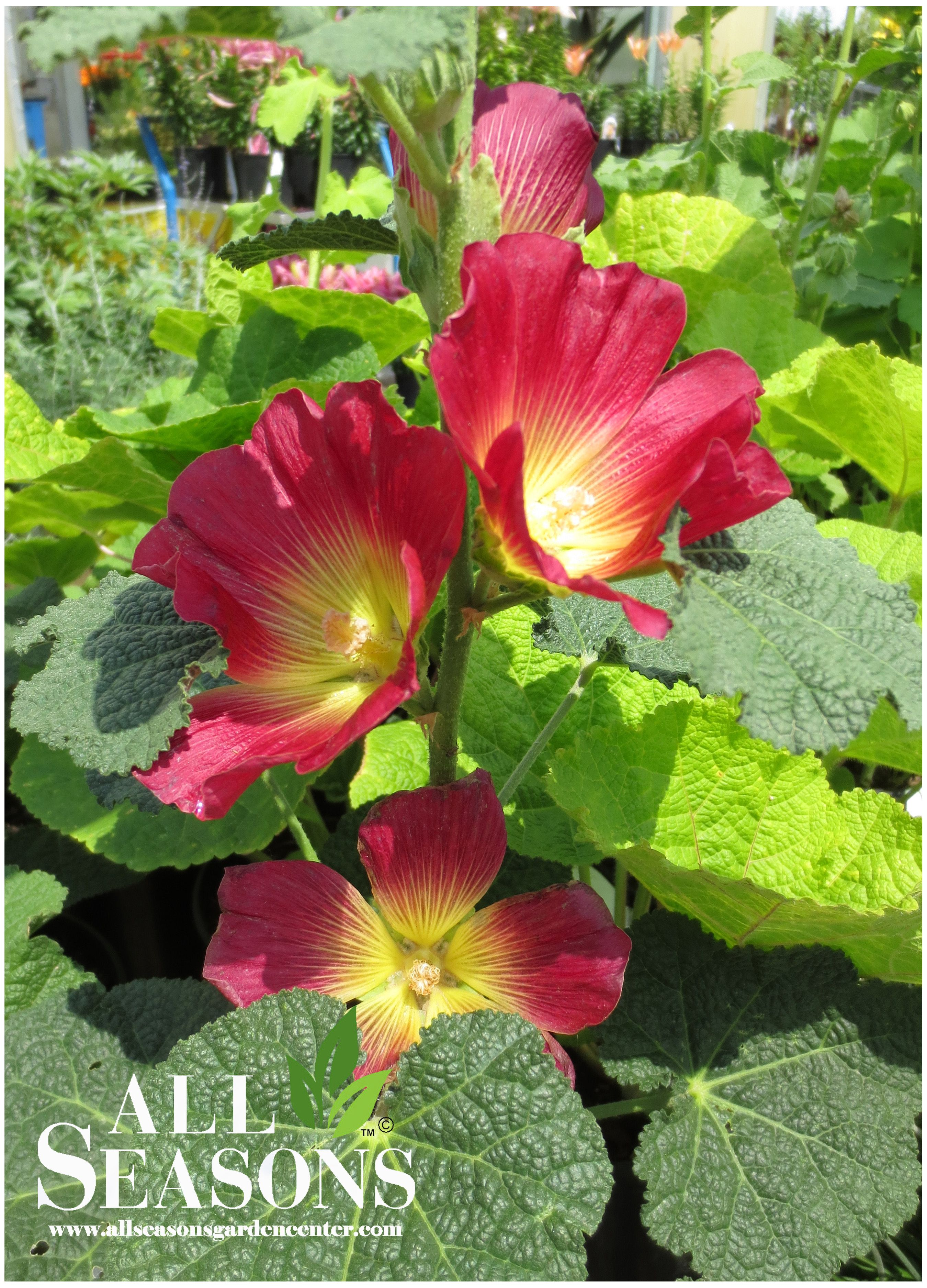 Hollyhocks are a wonderful perennial! The blooms are lovely and the foliage is interesting. They make a great addition to any garden.