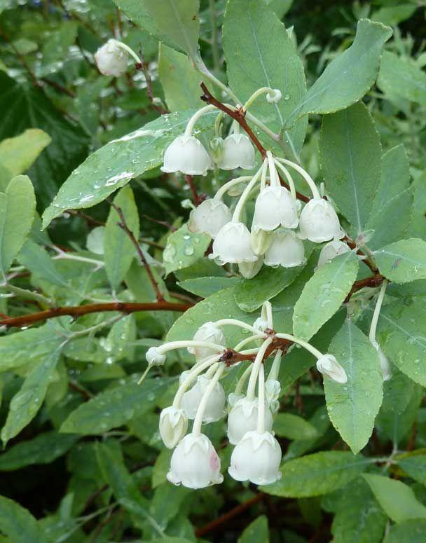Dusty Zenobia Bears Clusters Of White Bell Shape Blooms On Shrubs