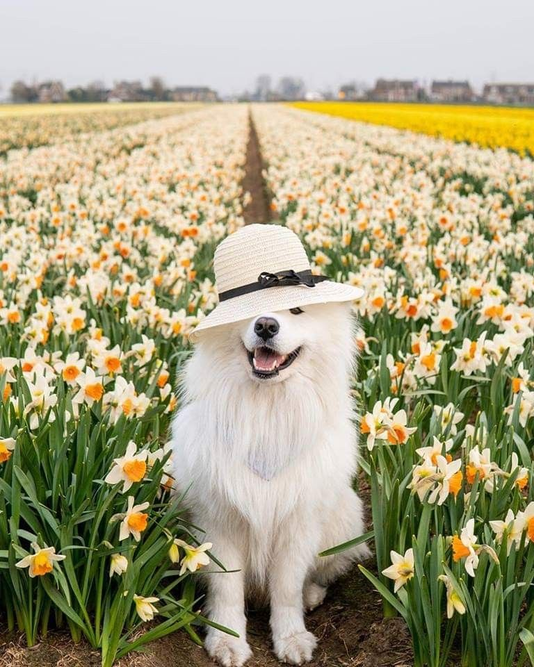 Pin by Beryl on dog狗狗 in 2020 Samoyed dogs, Cute dogs