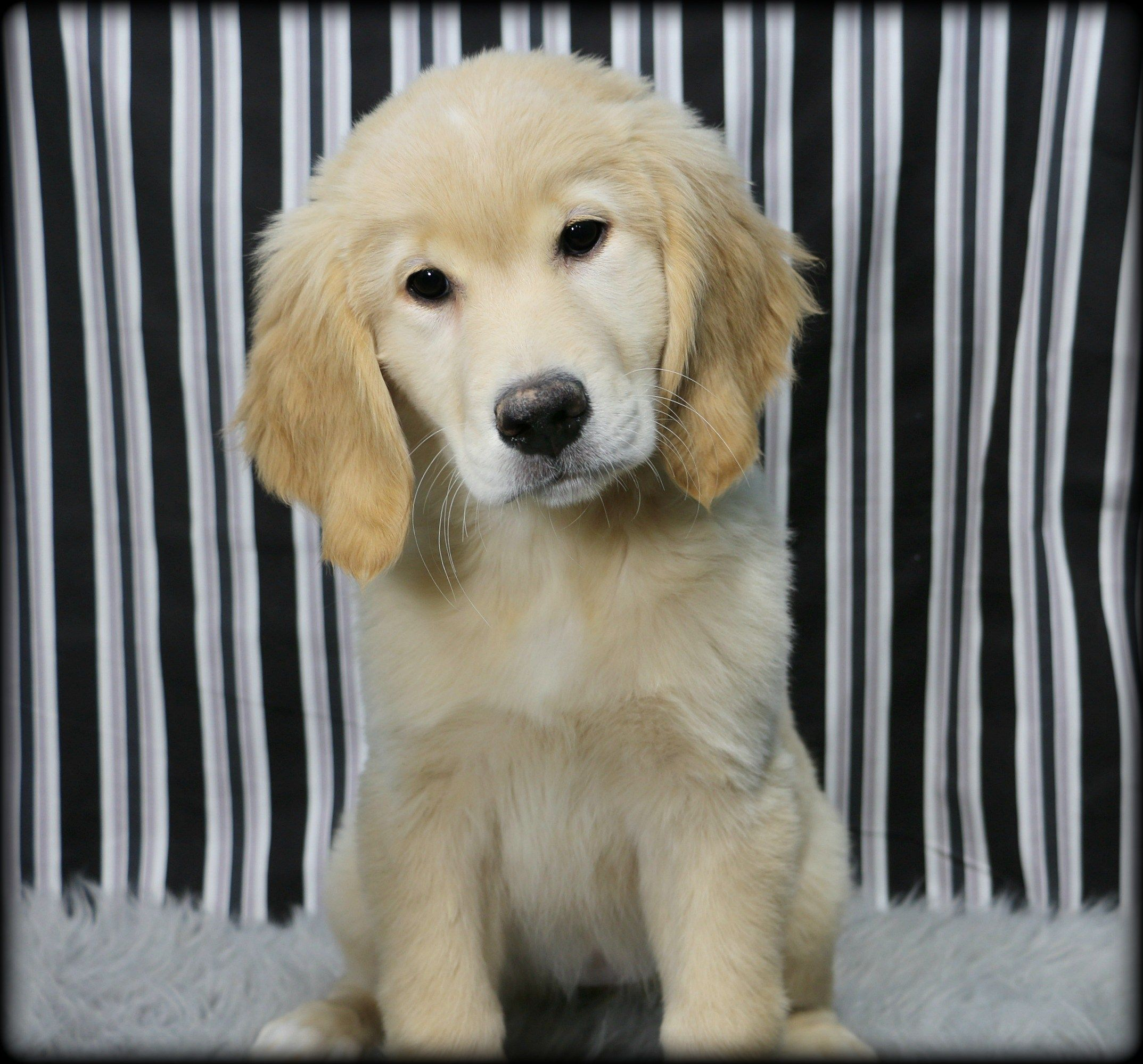 Petland Overland Park Has Golden Retriever Puppies For Sale Check