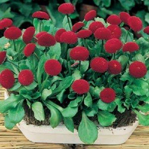 Flower seeds BELLIS RED BALL