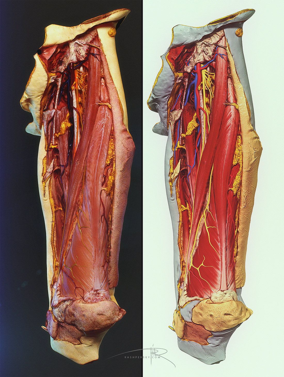 Human Cadaver Leg Thigh 3d Model Anatomy And Physiology