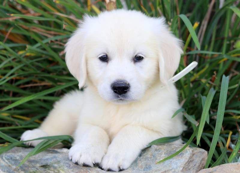 Beauty Dogs Retriever Puppy Puppies