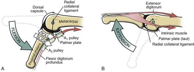 MCP extension/flexion arthrokinematics | Anatomie | Pinterest ...