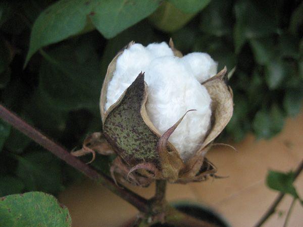 Algoda N Foto De Mi Planta Foro De Infojardan Planta De Algodon Plantas Mejores Flores