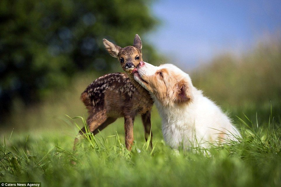 White Wolf : Australian Shepherd Puppy Adopts Orphaned Fawn