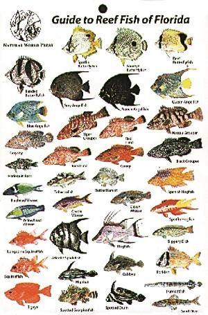 Reef Fish Of Florida Card Florida Fish Salt Water Fishing Fish Chart