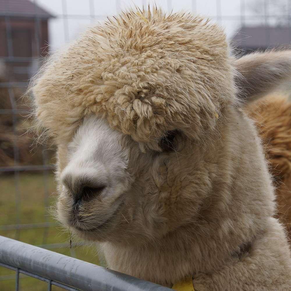 Welche Wolldecke Warmt Am Besten Welche Kamelfrisur Findet Ihr Am