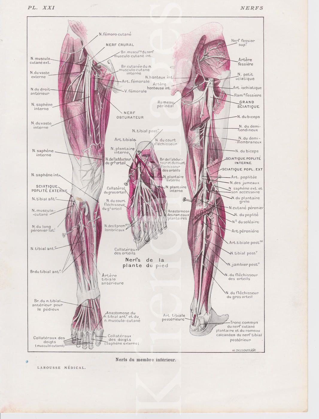 Anatomie des nerfs jambes plaque Français vintage 1920 \' s | Santé ...