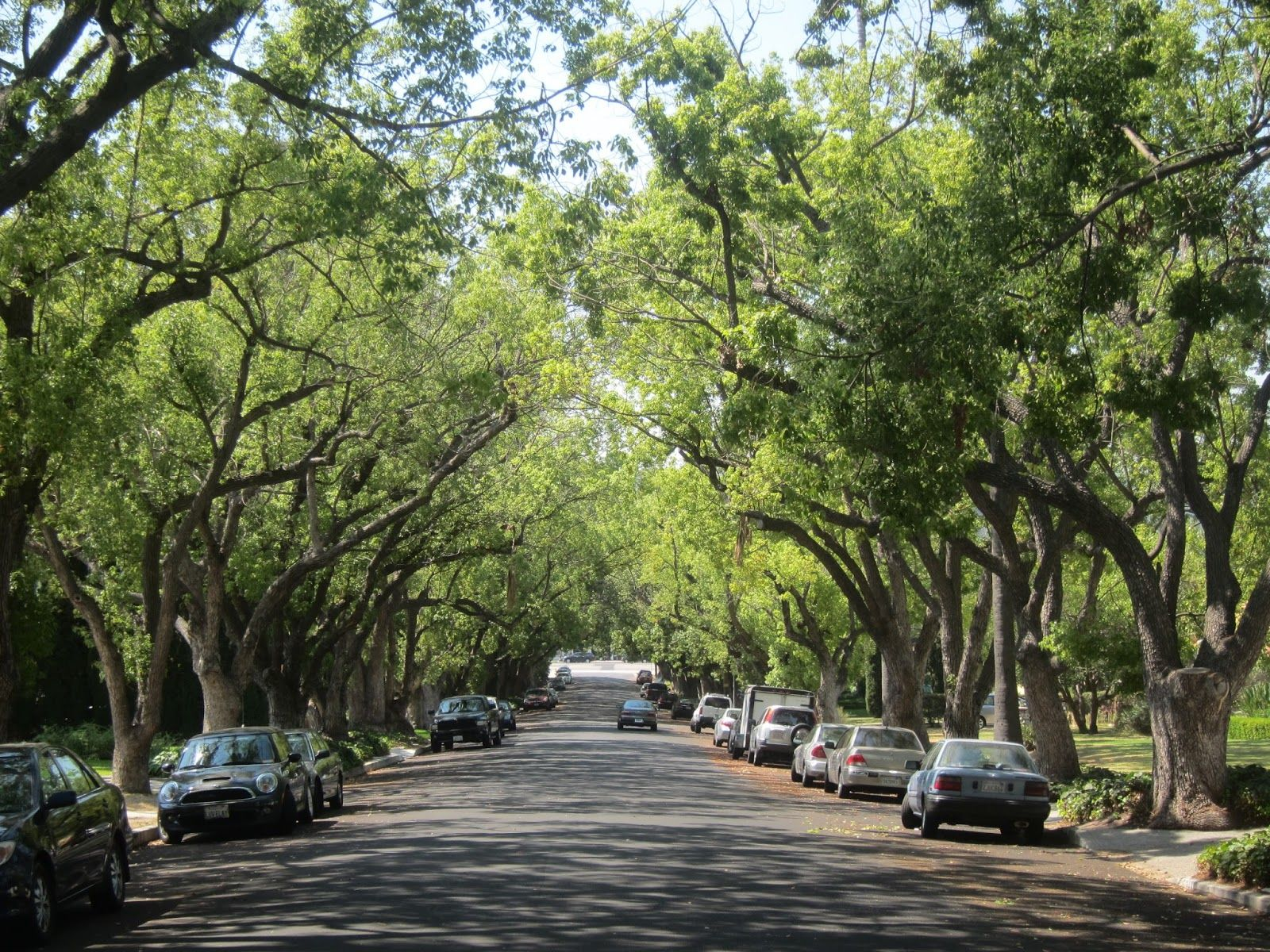 Camphor trees along Shearin Avenue