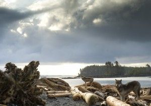 Coastal wolves explore outer beaches of Great Bear Rainforest.
