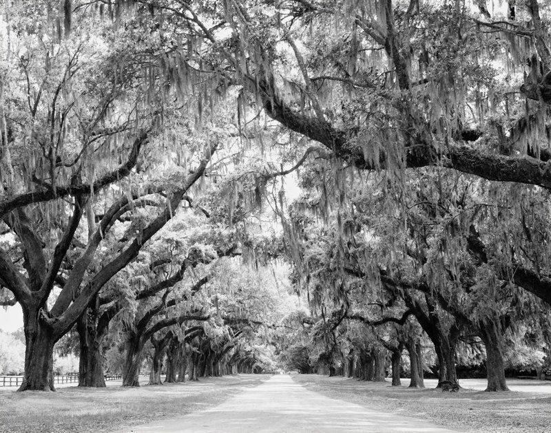 Avenue of Oaks, Charleston, South Carolina Photo - Oak Trees Spanish Moss - 11x14 Black and White or Color Nature Photo Print - Home Decor by StephsShoes on Etsy https://www.etsy.com/listing/90516194/avenue-of-oaks-charleston-south-carolina