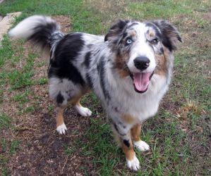 Bowie Is An Adoptable Australian Shepherd Dog In Vero Beach Fl
