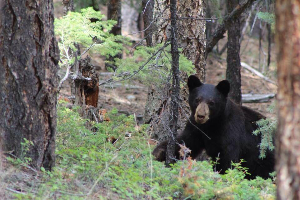 Black bear in my Colorado backyard.   Black bear, Bear ...