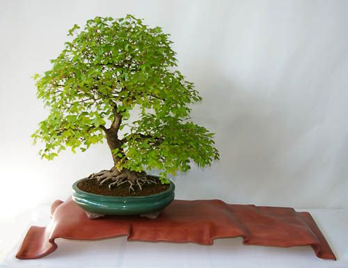 acer monspessulanum felsen ahorn bonsai in frei aufrechter form bonsai shohin bonsai. Black Bedroom Furniture Sets. Home Design Ideas
