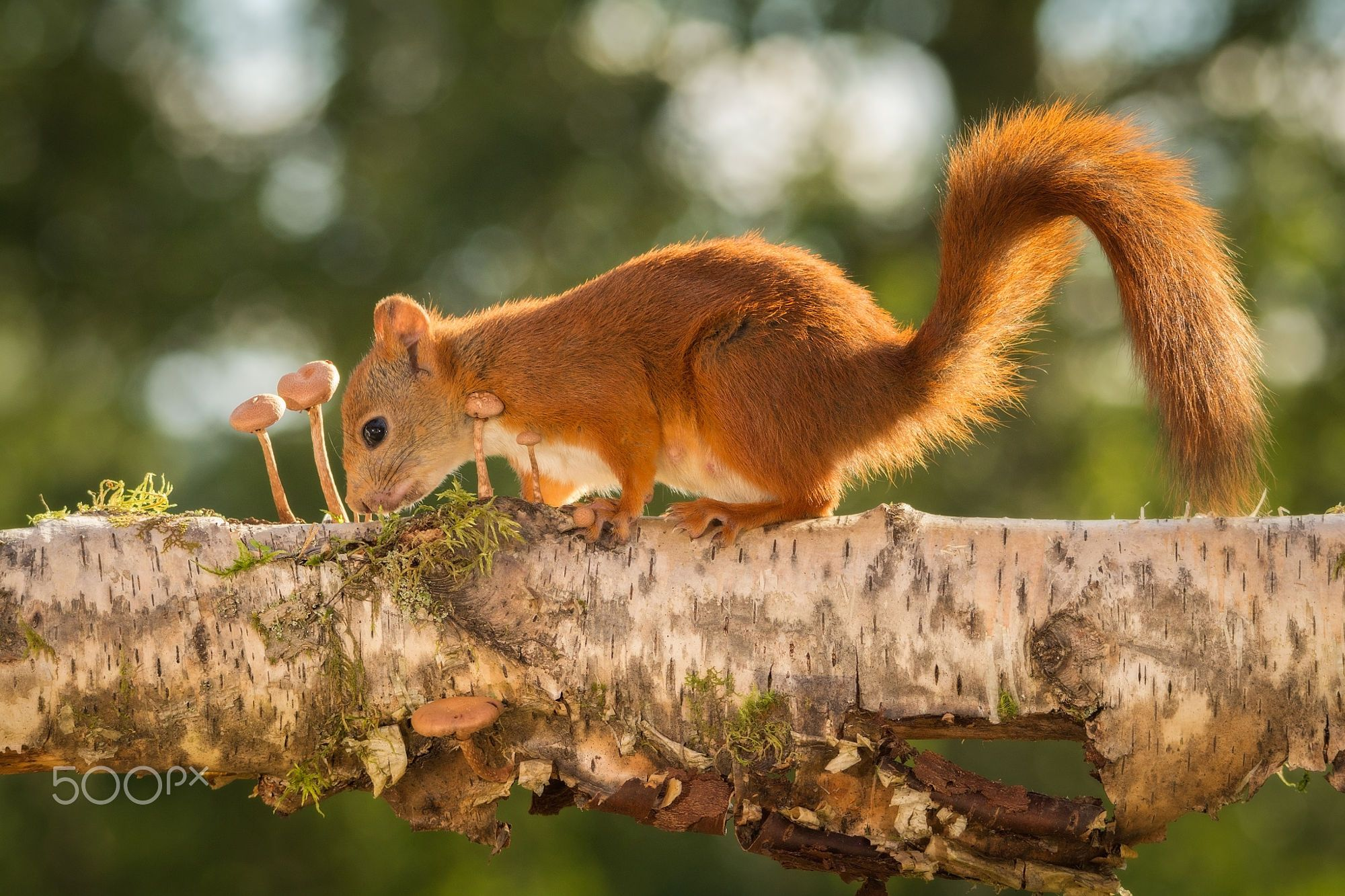 Red Squirrels Standing On Tree With Mushrooms Geert