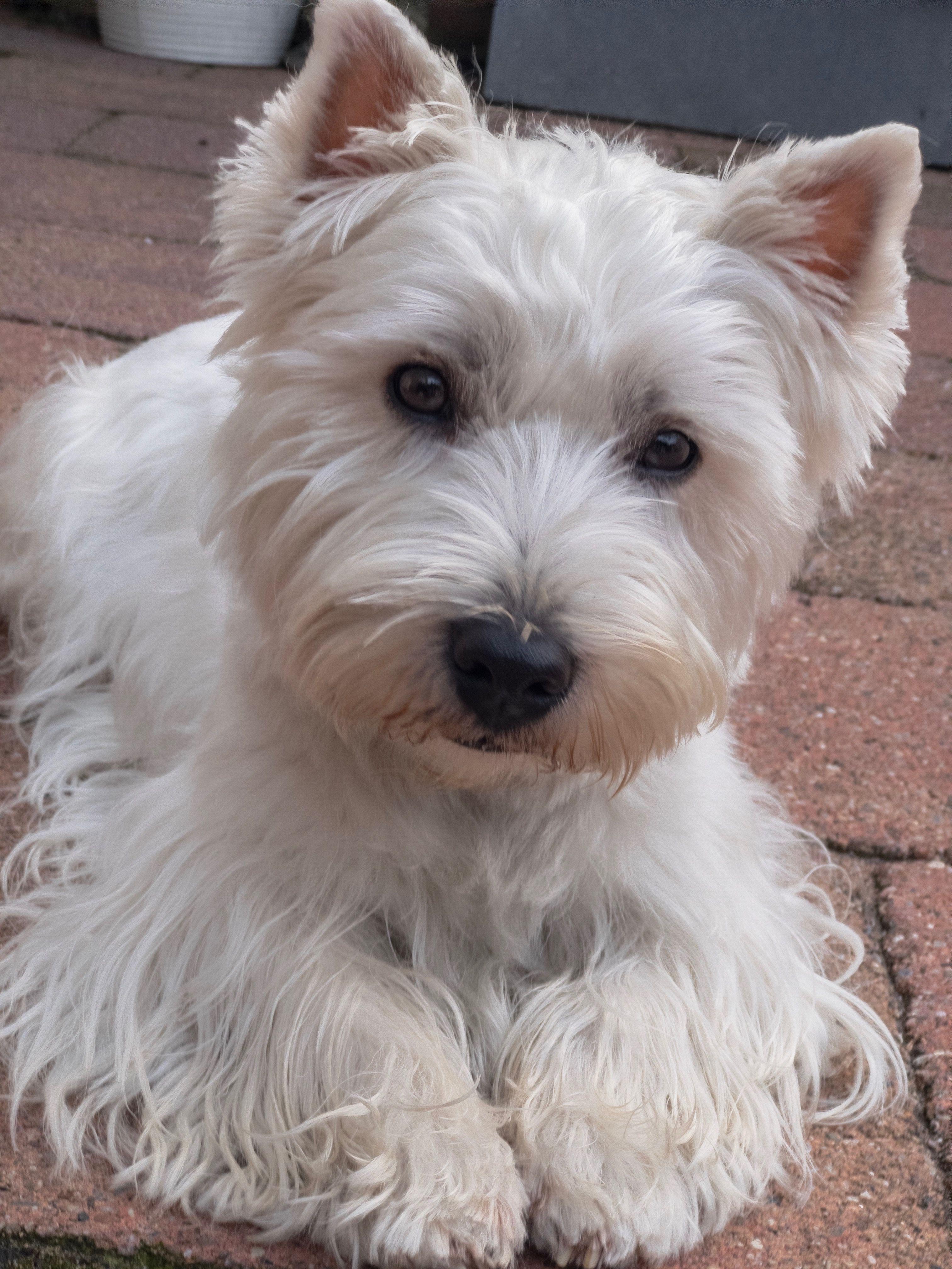 Teun My Sweet Westie Friend Westies West Highland Terrier