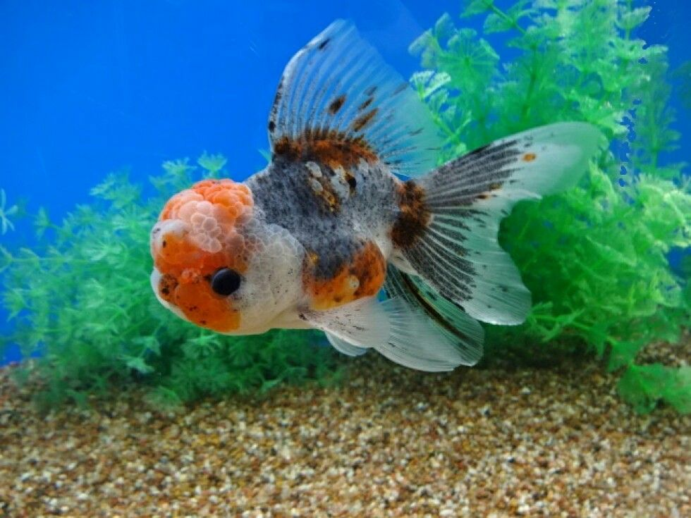 Slate blur oranda oranda goldfish pinterest goldfish for Outdoor goldfish for sale