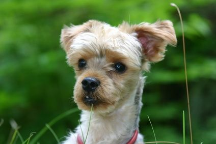 How to Take Care of a Yorkie Poo Morkie puppies, Puppy