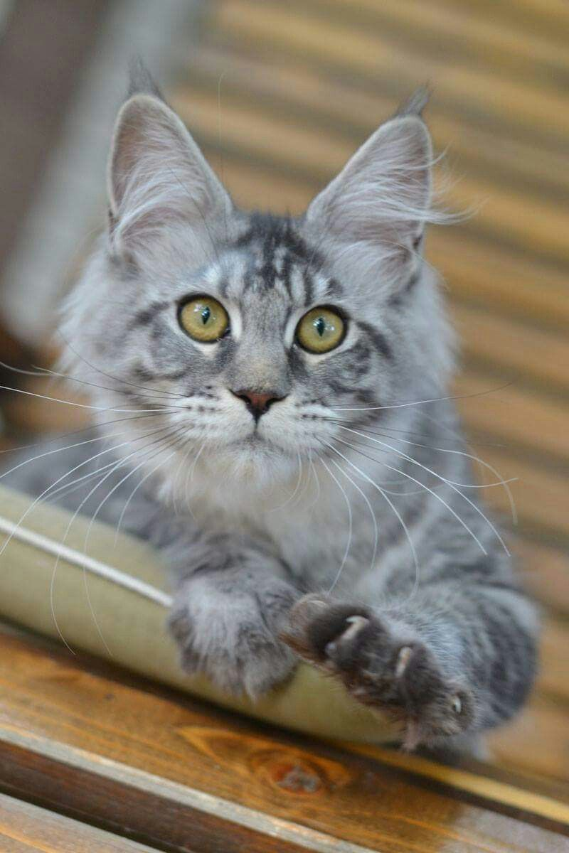 Very Very Big Silver Girl 5 Months Weight 4 Kg Lelya Akellaleader 5 Months Girl Ns23 Svobodna Available Parents Leon Sha Cats Kittens Cutest Cute Cats