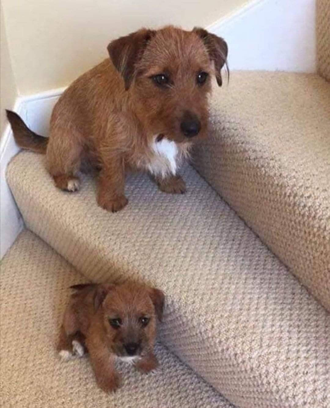 Pin By Beverley Armstrong On Border Terriers Dogs Puppies Cute