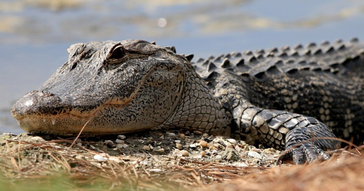 The 2-year-old child taken by an alligator at a Disney World resort in Florida is believed to be dead, authorities say — read more