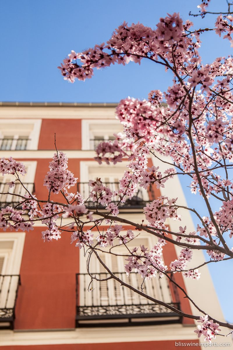 Cherry Blossoms In Late Winter In Madrid Spain Cherry Blossom Blossom Late Winter