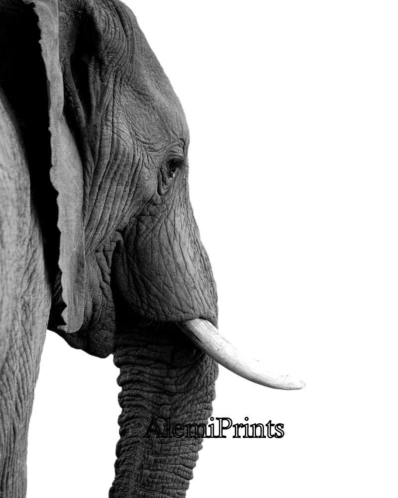 black and white animal poster elephant photography african