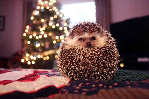 Pin By Madlen On For Wallpapers Cute Hedgehog Christmas Animals Hedgehog Pet