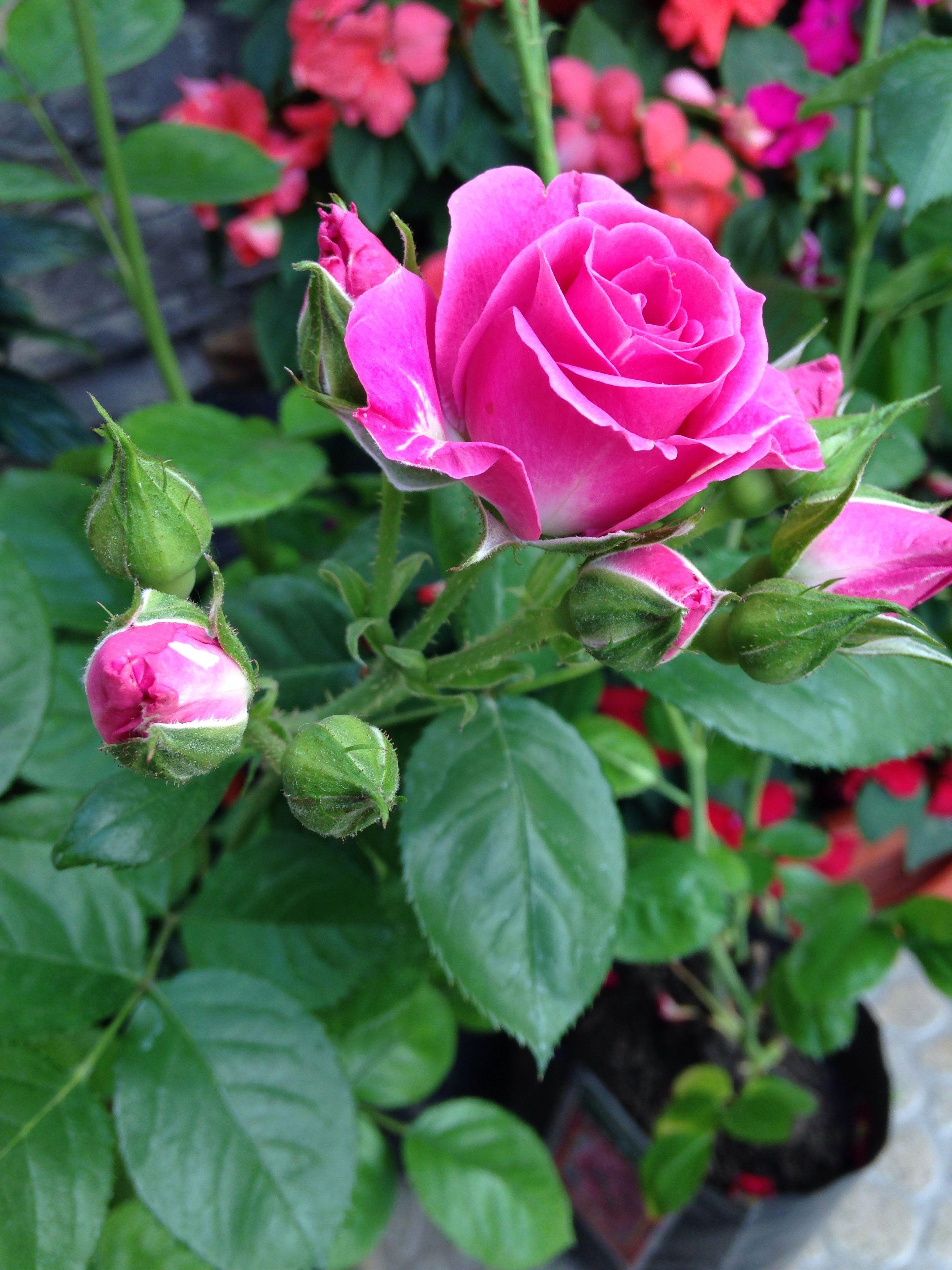 Фото Красивых Цветов Роз В Саду
