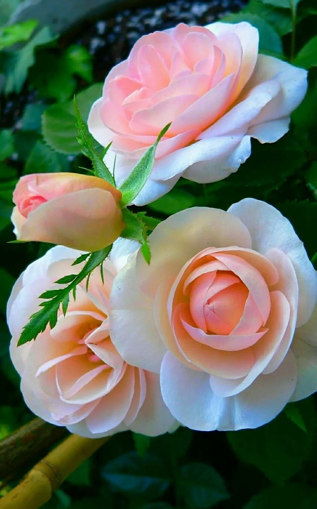 Belssimas rosas rosas in 2018 pinterest beautiful flowers belssimas rosas colorful flowers love flowers wonderful flowers blooming flowers unusual flowers izmirmasajfo
