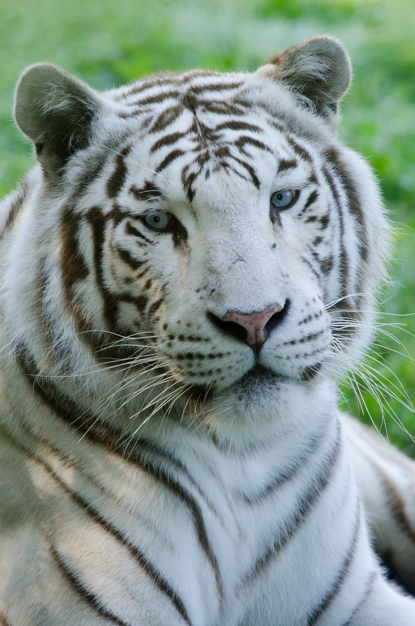 White Tiger - Blue eyes