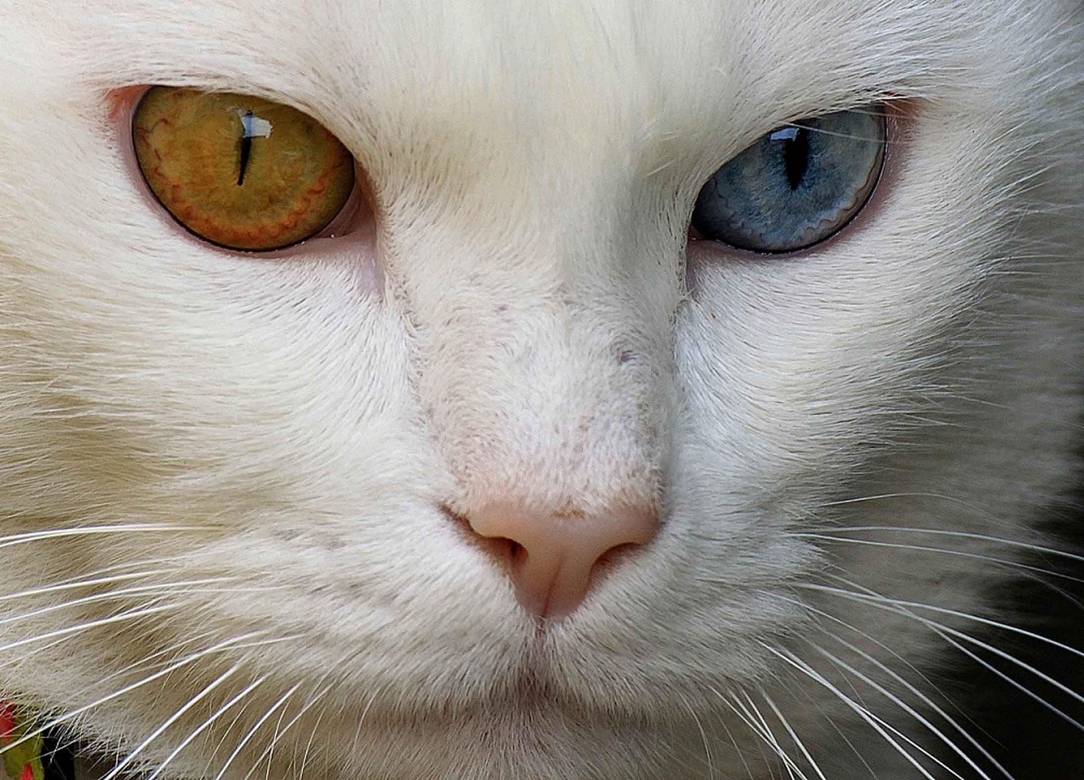 looks just like BEGE (blue eye, green eye) my cat from my