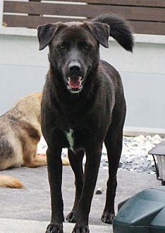Fairfax Va Labrador Retriever Mix Meet Bosco A Dog For Adoption Https Www Adoptapet Com Pet 19336414 Fairfax Virgi With Images Pets Labrador Retriever Dog Adoption