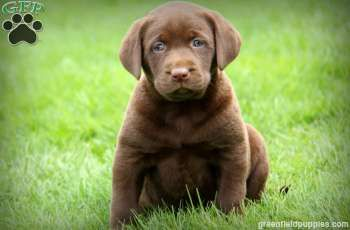 Tammy Chocolate Lab Puppy For Sale From Gap Pa Puppies Chocolate Lab Puppies Labrador Retriever Puppies