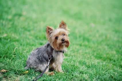 Cutest Little Thing Cute Small Dogs Dog Breeds Yorkie