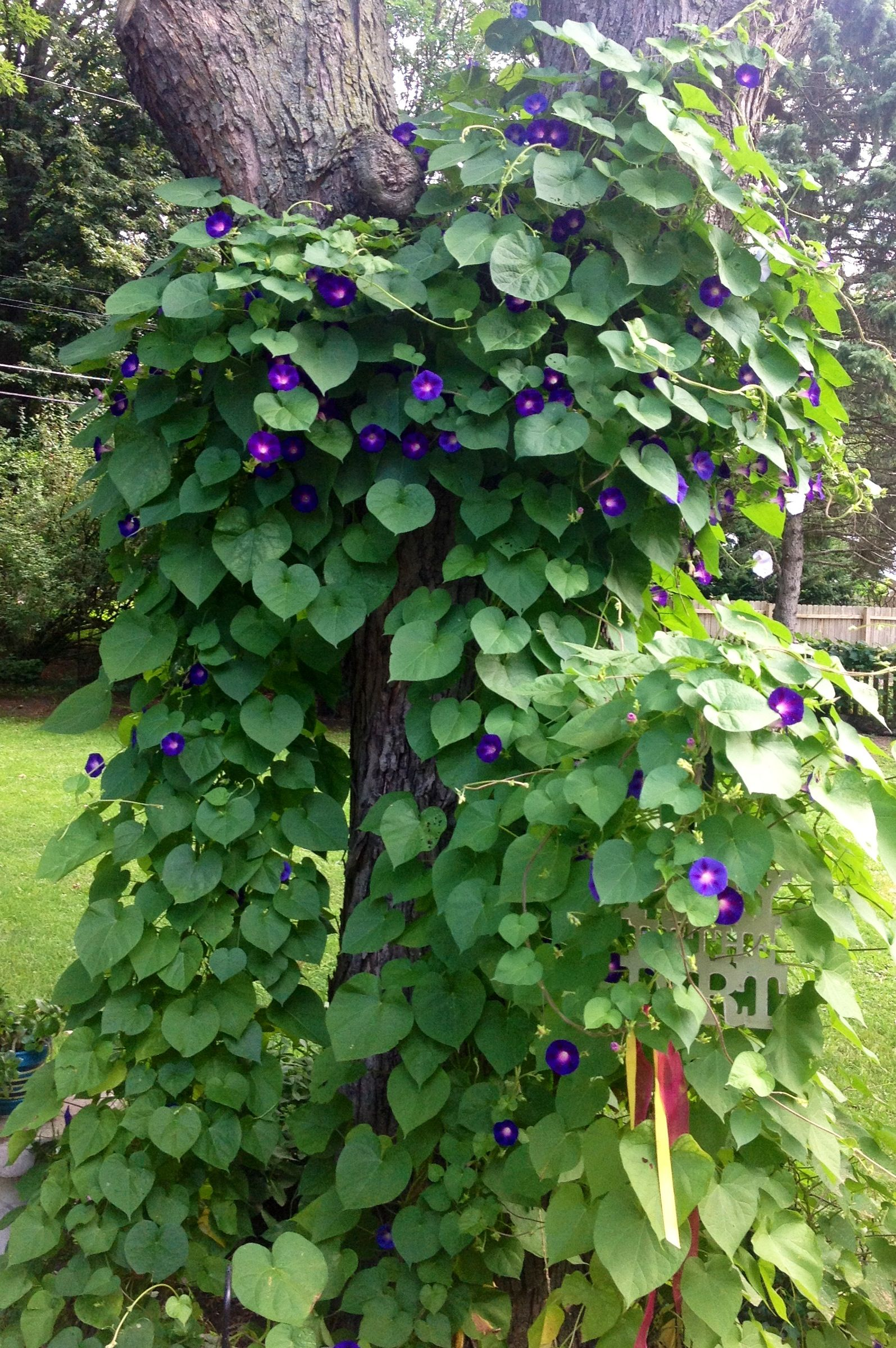 Morning Glories Climbing Up A Tree Very Pretty Will Do This In My Backyard Morning Glory Flower Garden Plants