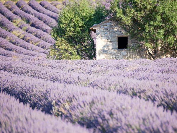 Lavendelfelder - ein provenzalischer Traum.
